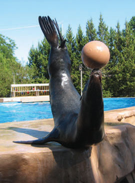 Sea lion balancing a ball
