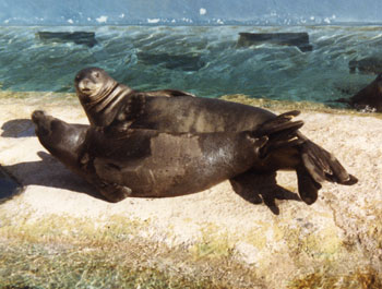 TE - Hawaiian Monk Seal