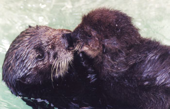 TE - Southern Sea Otters