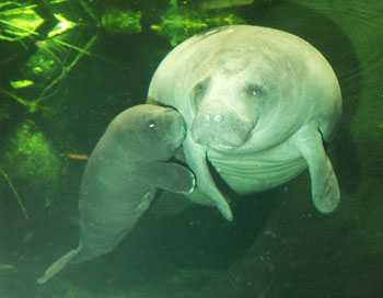 TE - West Indian Manatee