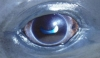 Characterization Of Anterior Segment Ophthalmologic Lesions Identified In Free-Ranging Dolphins And Those Under Human Care