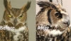 Pre- and Post-Operative Care for Phacoemulsification Using Operant Conditioning with a Great Horned Owl <em>(Bubo virginianus)</em>