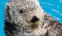 Training Advanced Husbandry Behaviors in an Aging Sea Otter <em>(Enhydra lutris)</em> to Assist with Geriatric Care